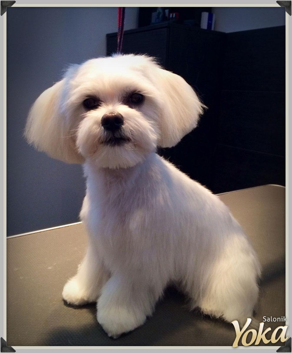 Psi Fryzjer Fryzury Dla Psów Chodzież Piła Wągrowiec